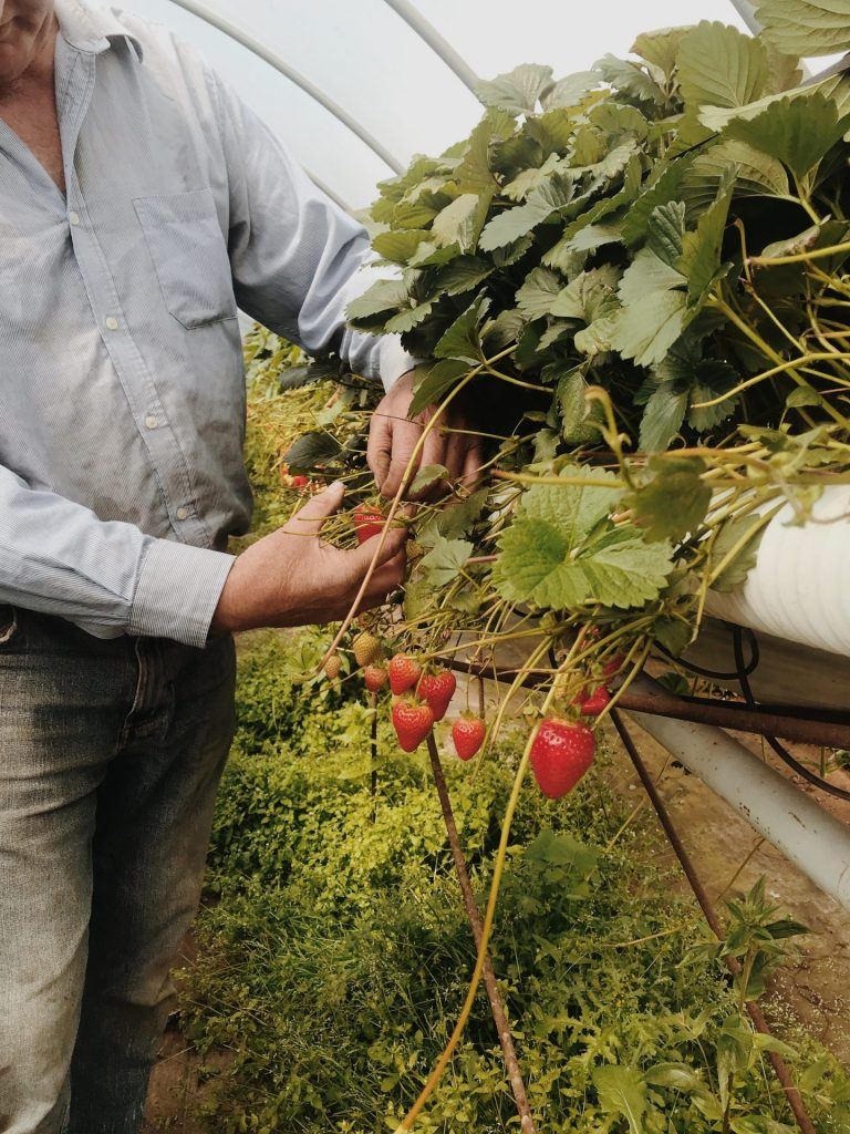 A man picks strawberries from a farm.